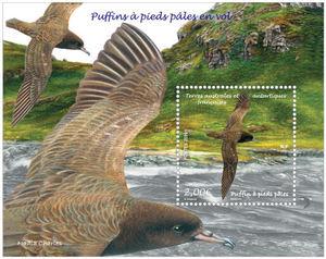 TAAF - Puffins à pieds pâles en vol